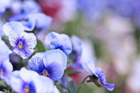 Derived from the wild pansy of Europe - Pansy