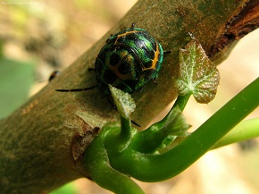 Bhanu - Do you know the name of this insect or is it beetle bug or bently