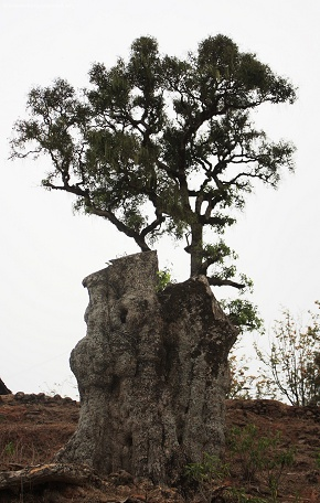 Seems Alive the 1000 year old tree that was cut by prithivi narayan shah who built the 7 storey nuwakot palace