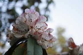 Rhododendron in  white attire