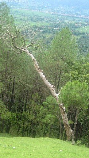 `Leaning Tree of Changu`
