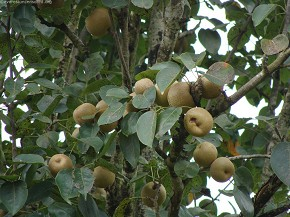 Pharping is popular for naspati(Pyrus pyrifolia)