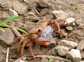 Come fight with me, crab on the way in defensive mode