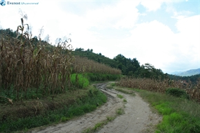 trail through rice and maize fields