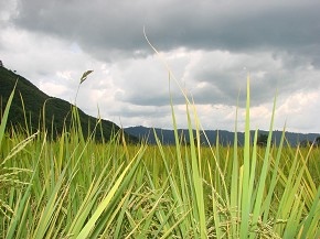 Dazzling green paddy fields overshadowed by dark clouds