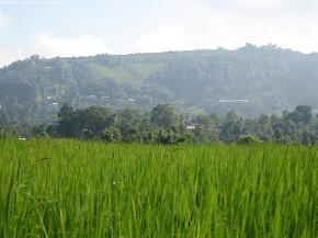 Some more paddy field