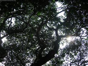 Silhouette of evergreen Sundarijal tree.