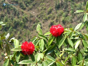 10. beautiful nepali national flower rhododendron