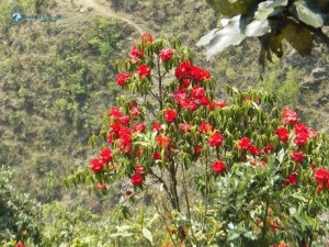 56. Is it laigurans nepalese national flower rhododendron