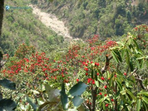 7. Alluring beauty national flower of nepal