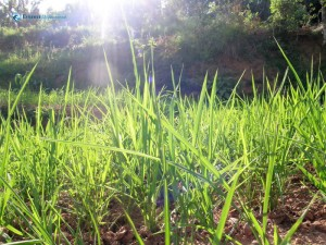 41. Green paddy leaves