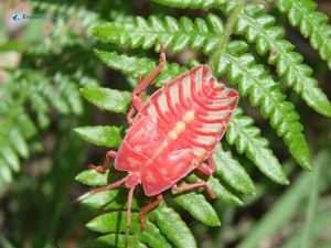 101. What beautiful red Scorpion or Crab