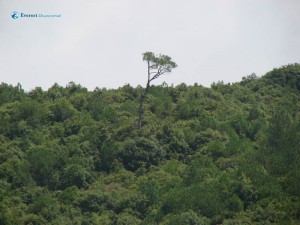 46. I am the tallest among my neighboring green forest say the lonesome tree