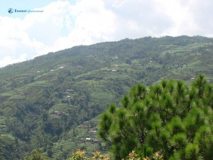61. Pine Tree shines exposing the beautiful view of green village