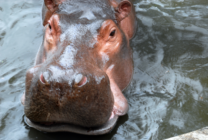 Hippo stare and that day I came to know that they do have skin 6cm thick.