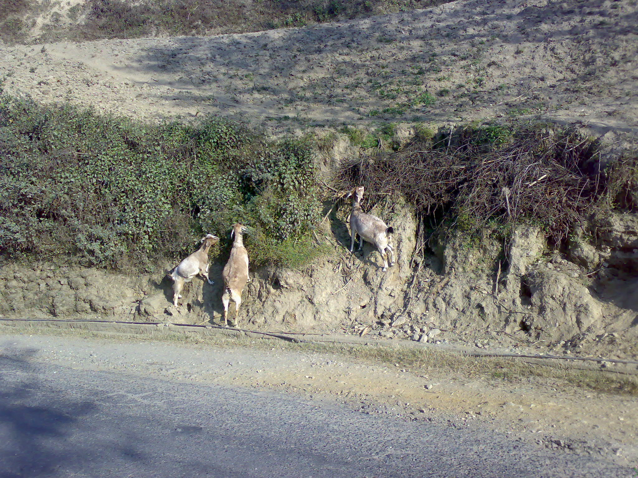goats_on_the_way_to_kakani