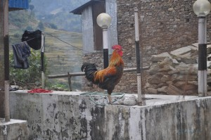 rooster of the day