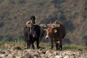 Rural or Urban Nepal Still Relies on them for agriculture
