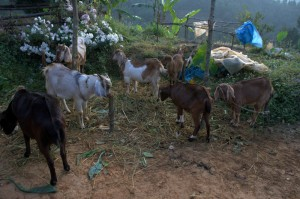 These cute animals are one of the treasures of nepal village