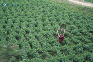 07. Harvesting by local people