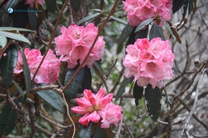 83. Pink Blossoms
