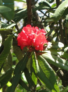 51. Red Rhododendron (National Flower)