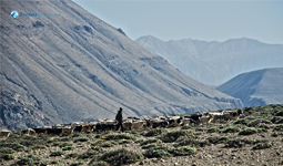 Shepherd of Upper Mustang