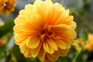 46.In the bloom -Chrysanthemum
