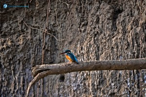 Kingfisher at Sauraha