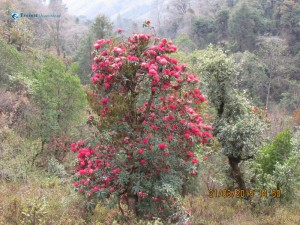 30. Pink Rhododendrons