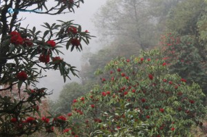 70. Rhododendron forest