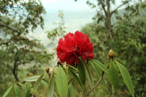 9. Rhododendron