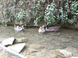 15. ducklings swimming