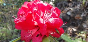 7. Rhododendron